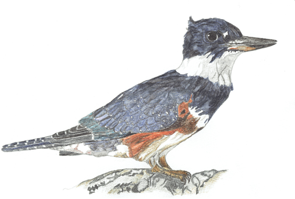 belted-kingfisher-rs