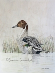 northern-pintail-rs-watermark